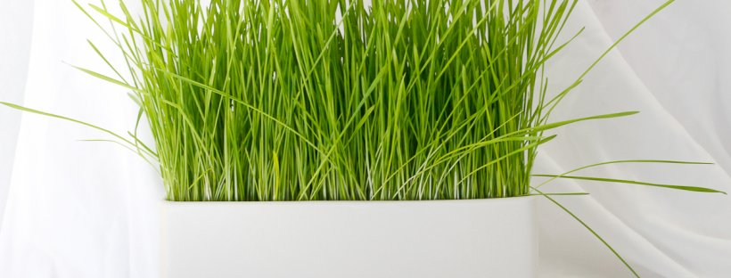 How to Grow Wheatgrass, and Juice it (without a Juicer!)