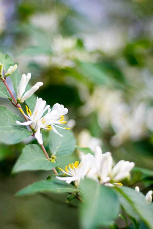 Honeysuckle in Central Appalachia