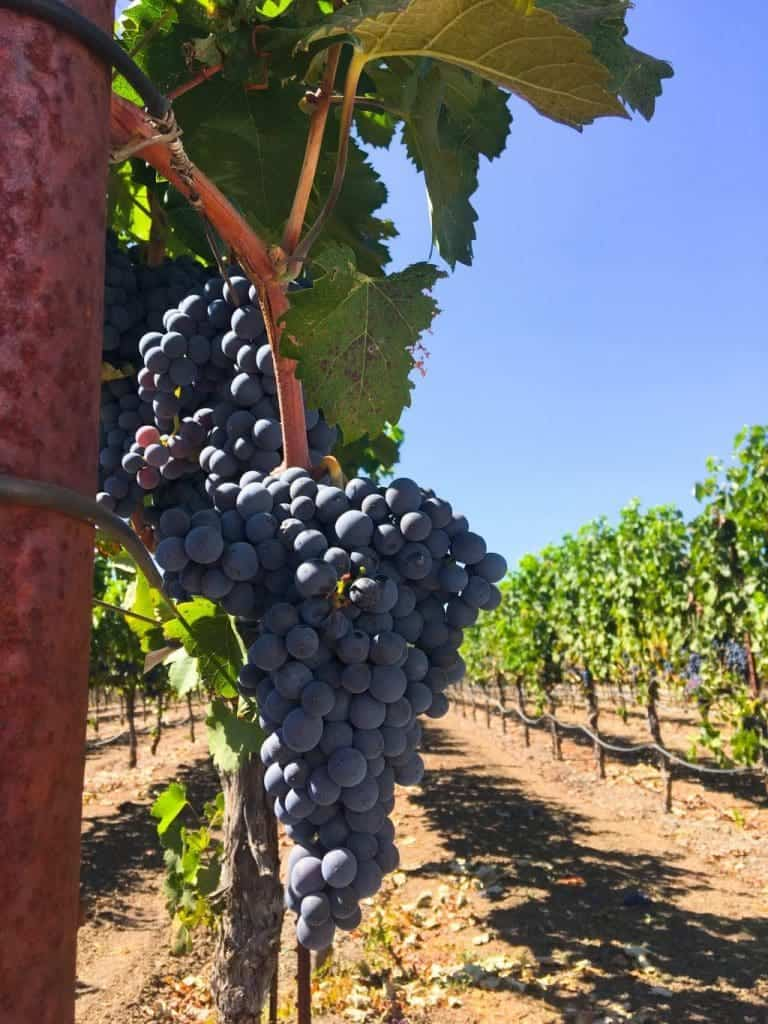 Grapes - Free Wine Tasting in Sonoma at Alexander Valley Vineyards