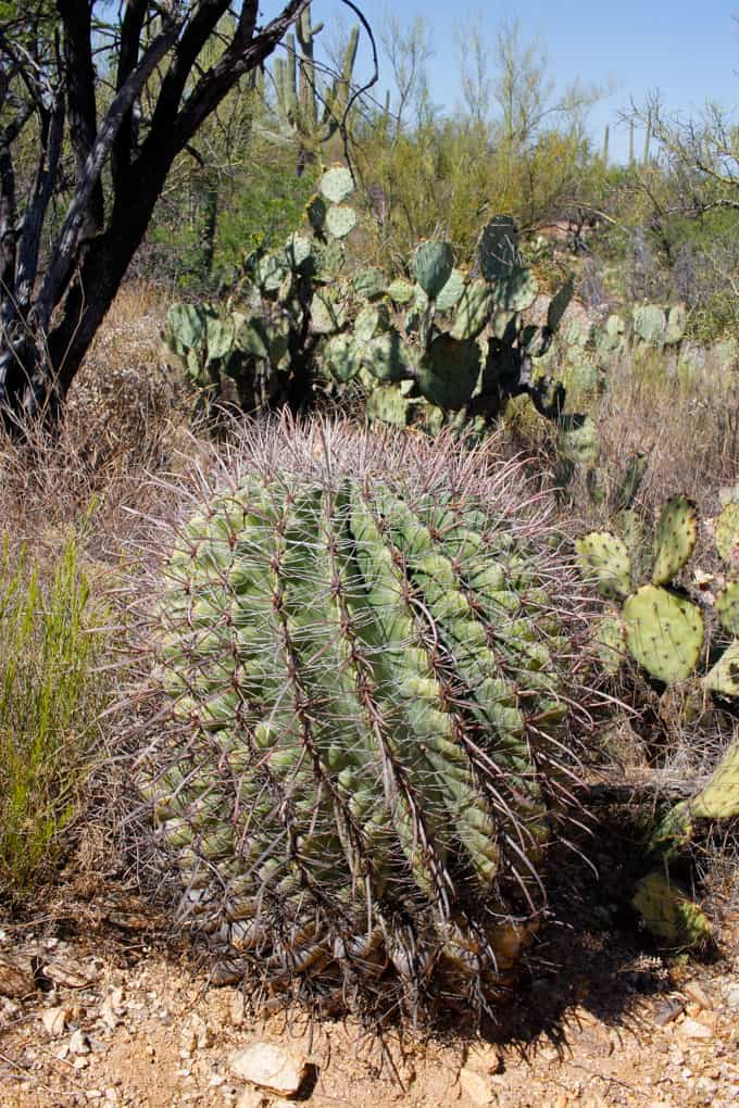 Cactus in Hiking in Saguaro National Park