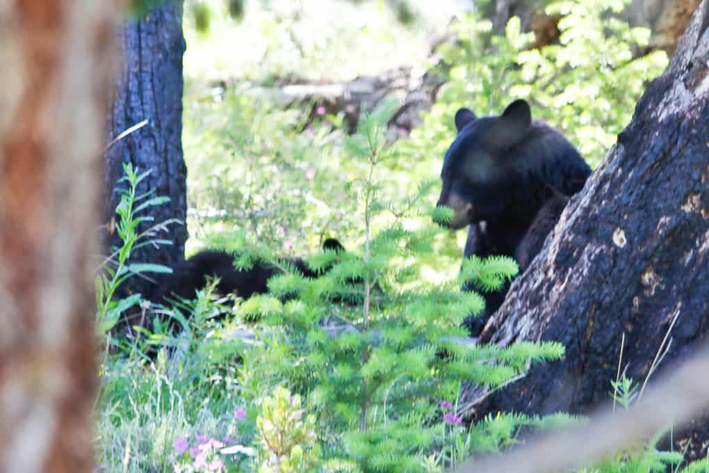 Black Bears at Yellowstone