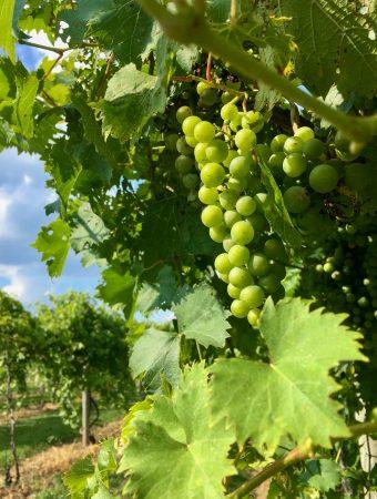 grapes at talon vineyards