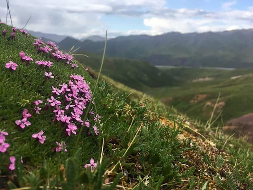 flowers in Denali