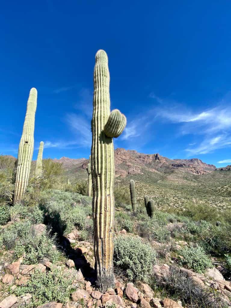 Saguaro Cacti Along the Trail