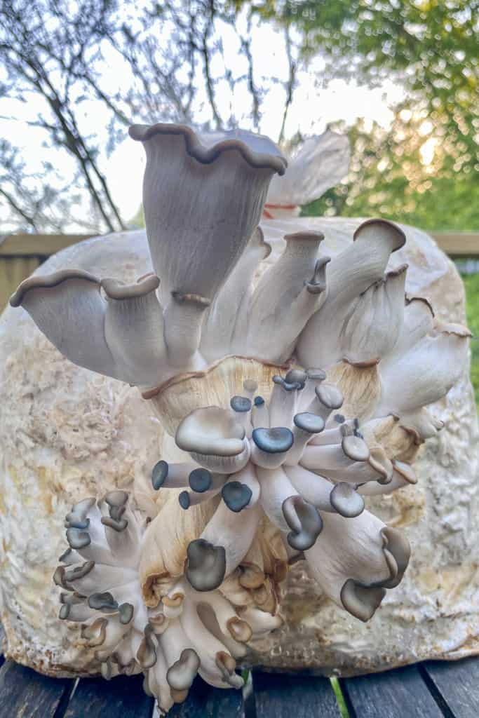 Smallhold Blue Oyster Mushrooms