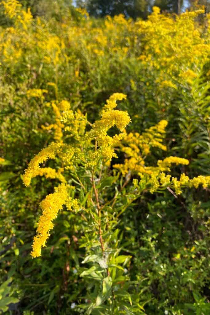 Goldenrod Flowers