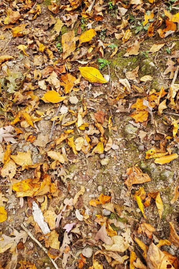 Leaves in Pinnacle Rock State Park