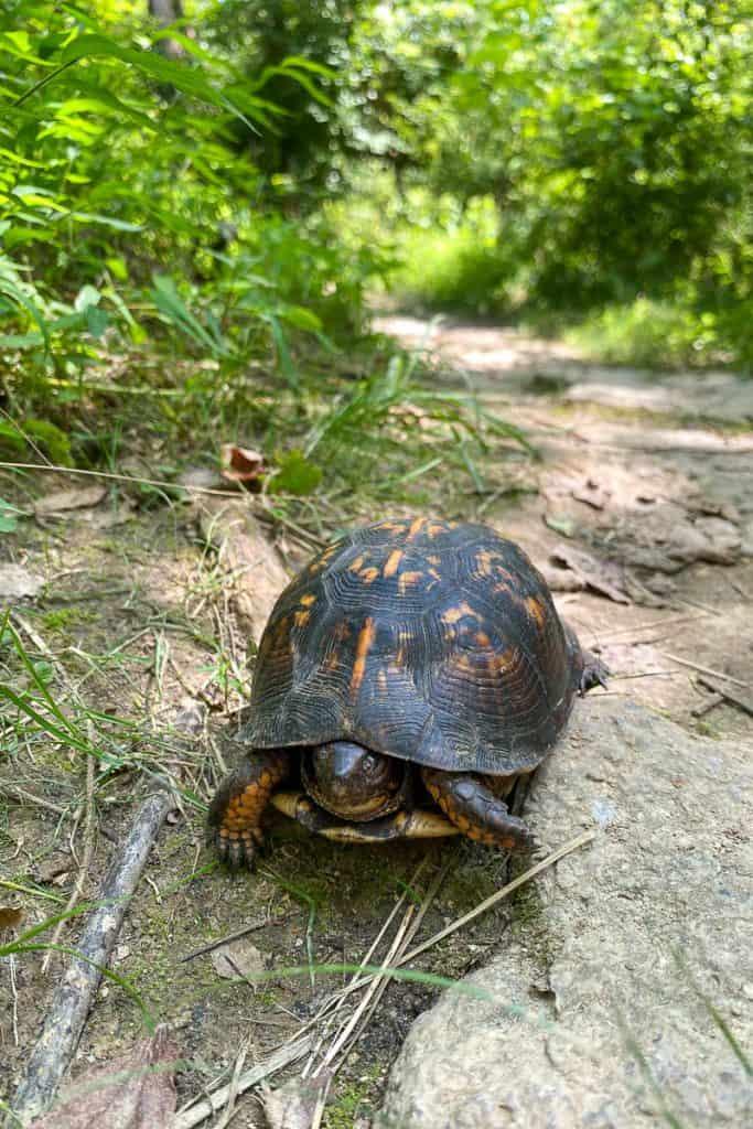 Turtle on the Mountain Biking Trail.