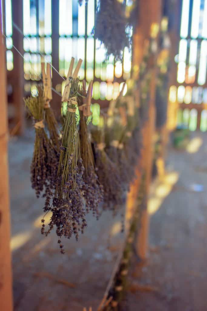 Lavender hanging upside down to dry