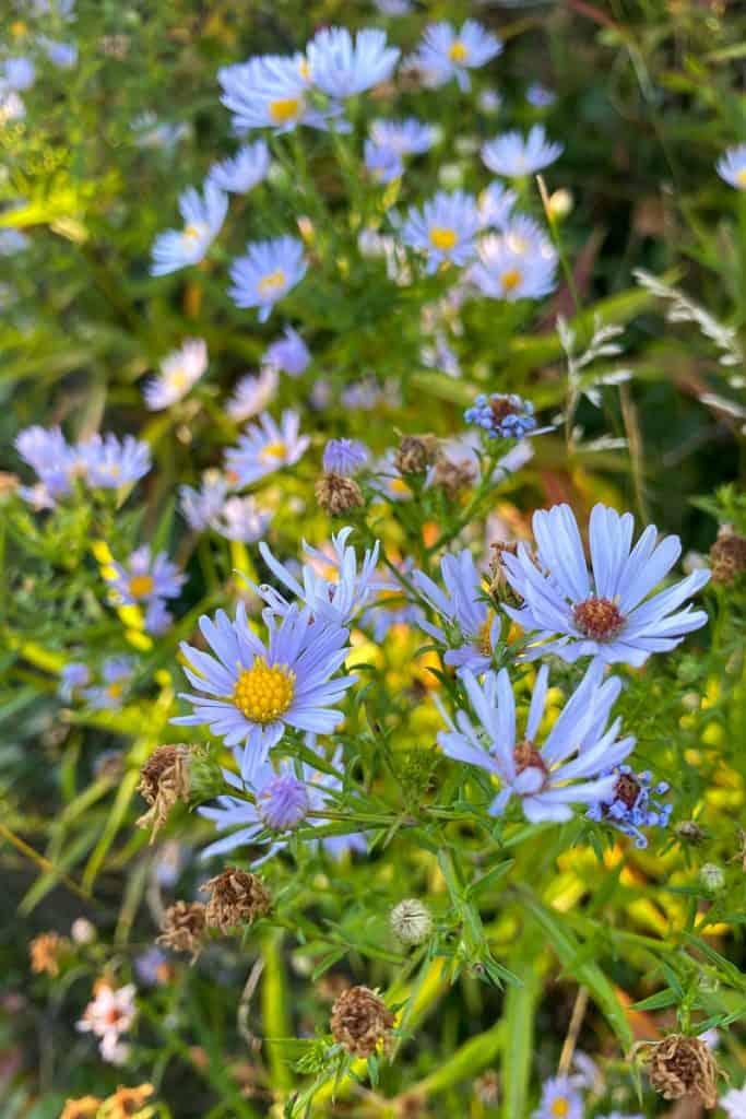 Wildflowers on Cadillac Mountain.