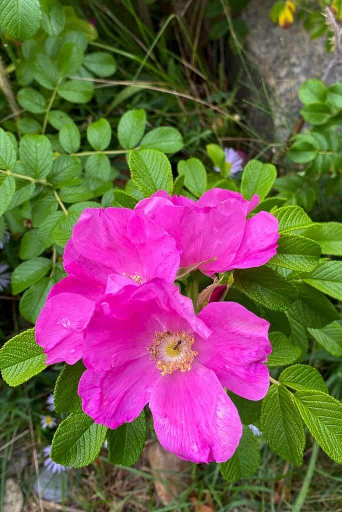 Wild Roses on the Schoodic Peninsula