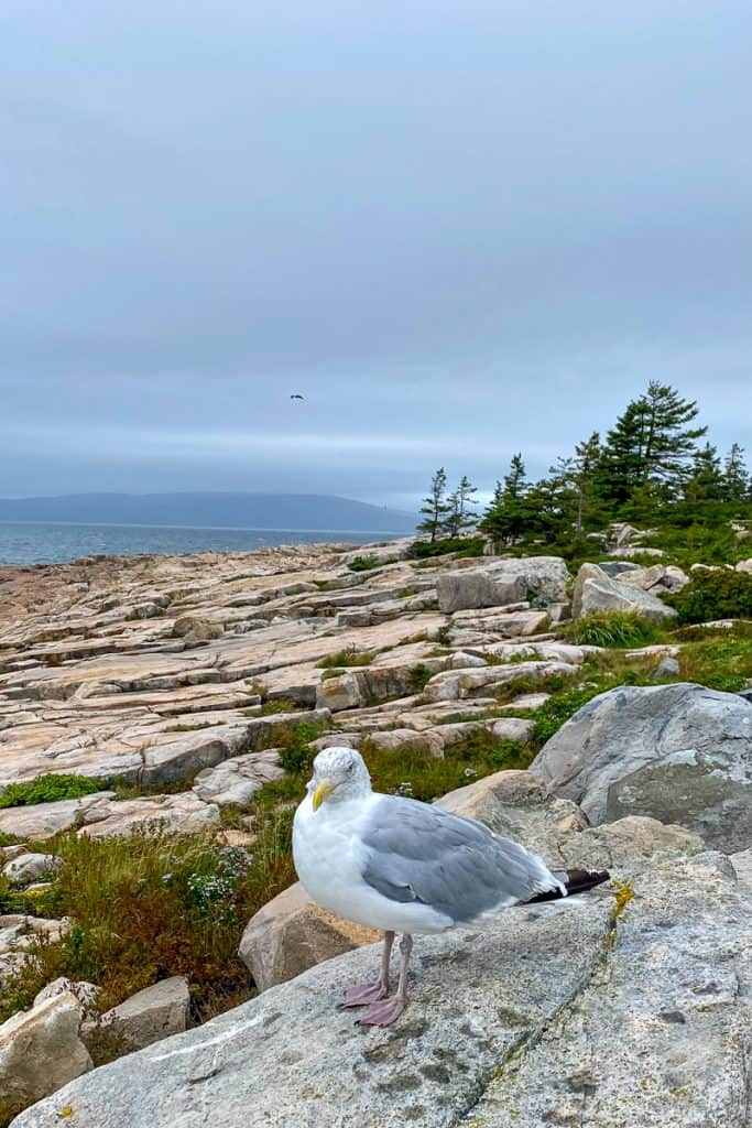 Seagull at Schoodic Point.