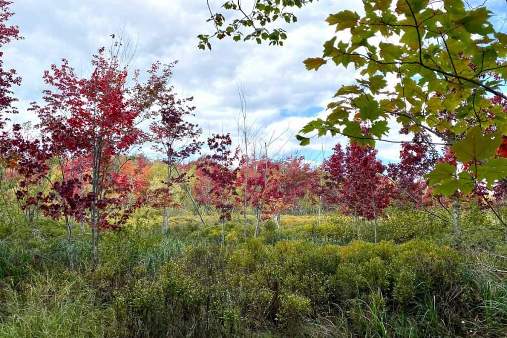 Trees Changing Color on the Jessup Path.