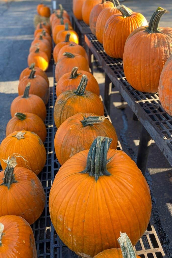Pumpkins at Evans Orchard