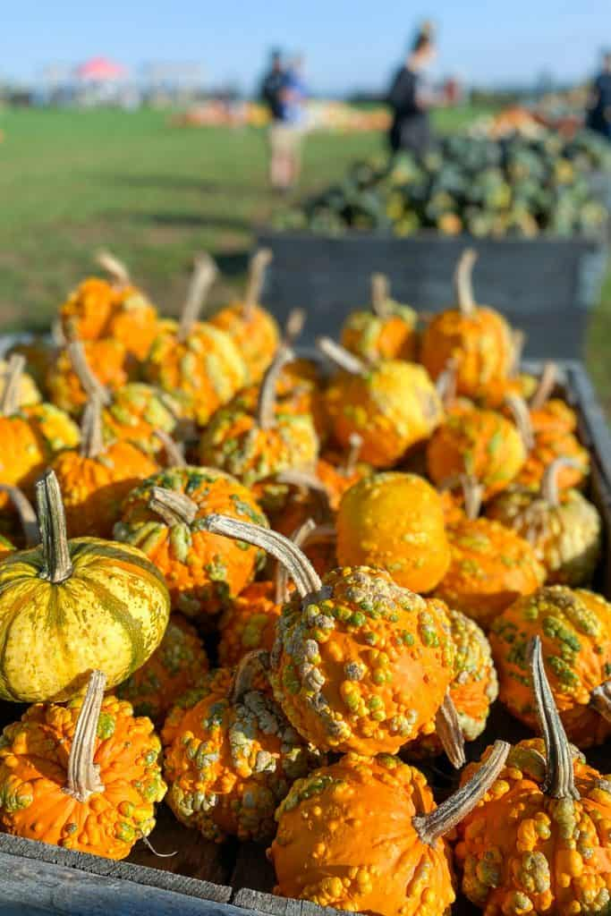 Gourds at Evans Orchard